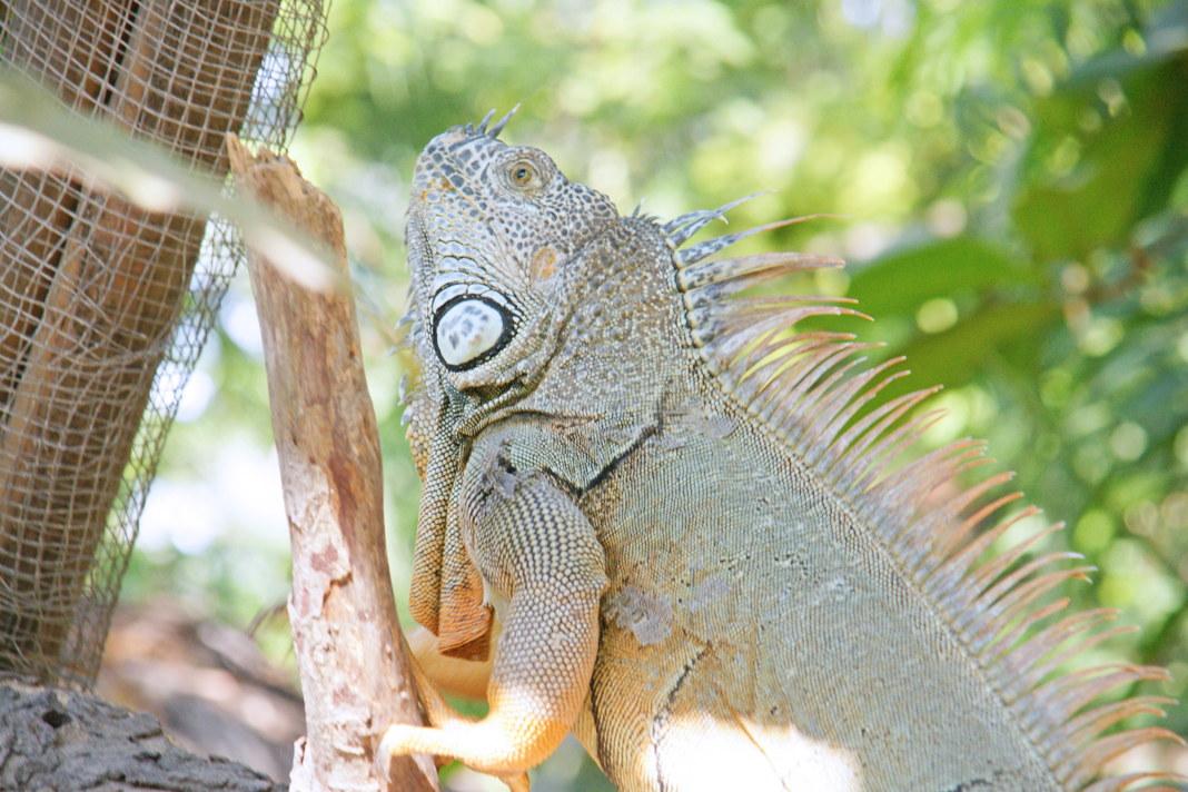 Iguana05