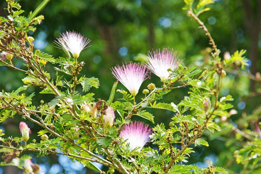 The Persian silk tree, also called Albizia julibrissin, was named after Italian nobleman Filippo degli Albizzi.