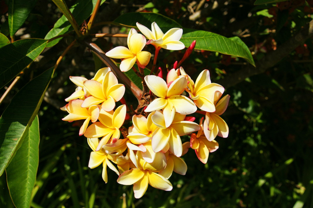 Plumaria, a member of the dogbane family.