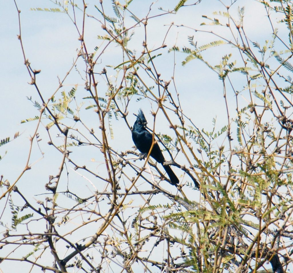 A male phainopepla, part of the silky-flycatcher family.