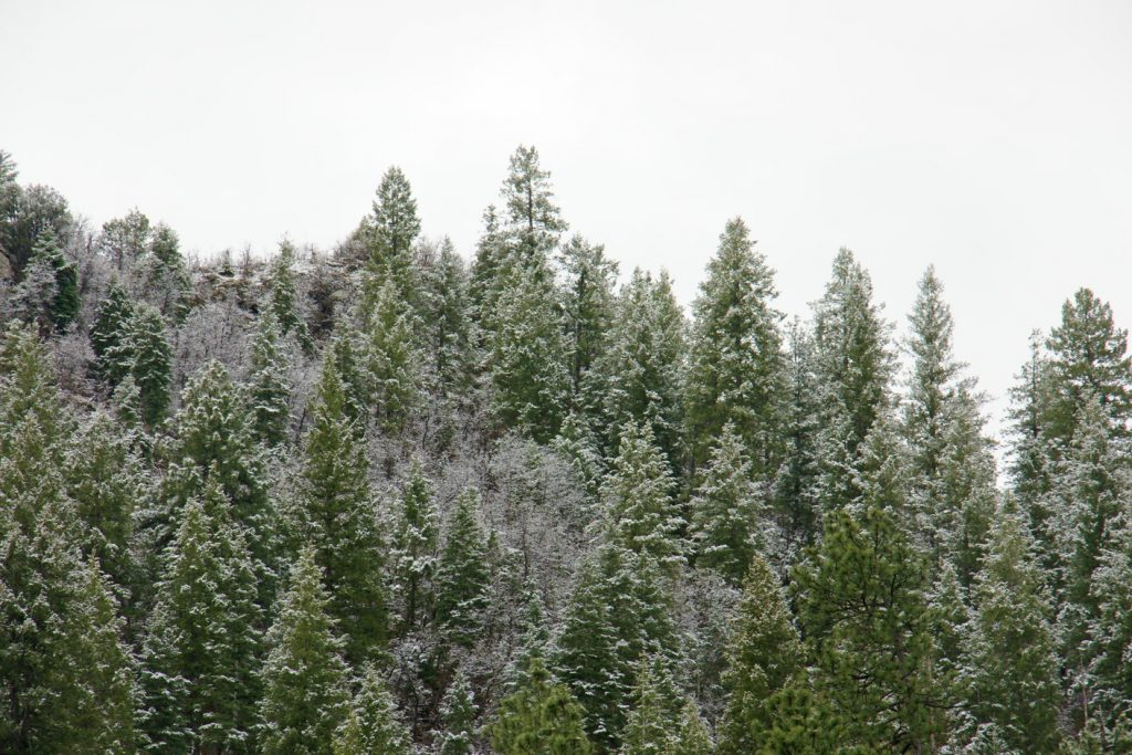 Snowy Sedonan tree-tops.