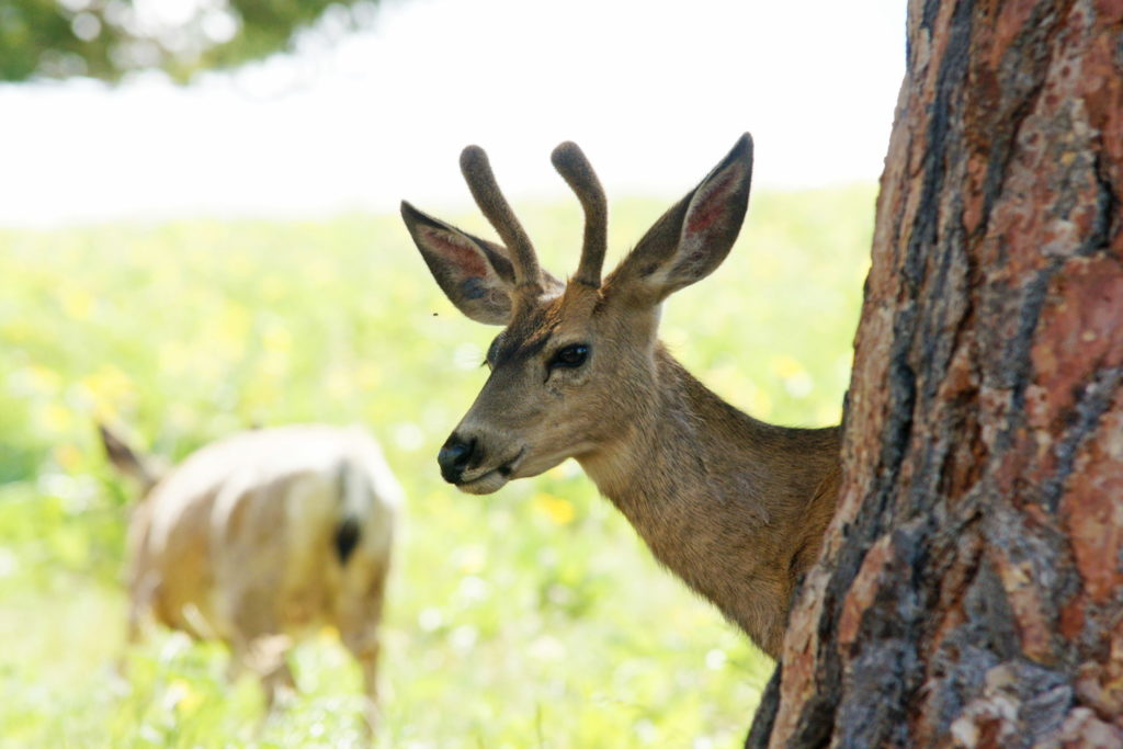 A young Odocoileus hemionus watches us from behind a tree.
