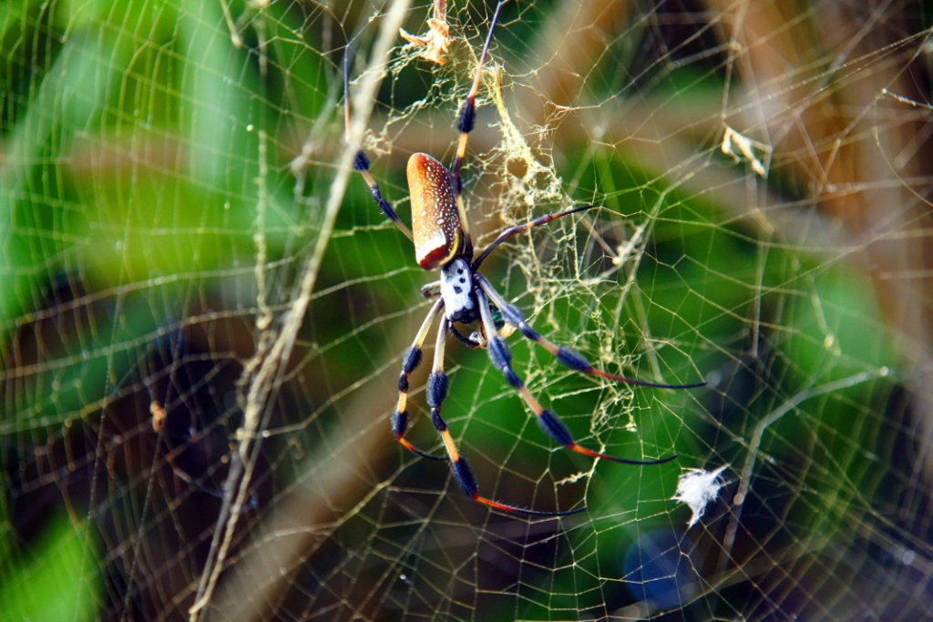Another of the beautiful creatures of the Everglades, the Golden Silk Orb-weaver.