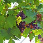 Samos grapes.