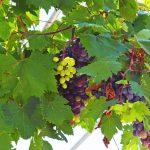 Samos grapes.