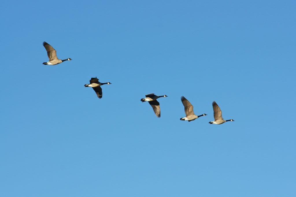 Flocks of Canada geese fly overhead.
