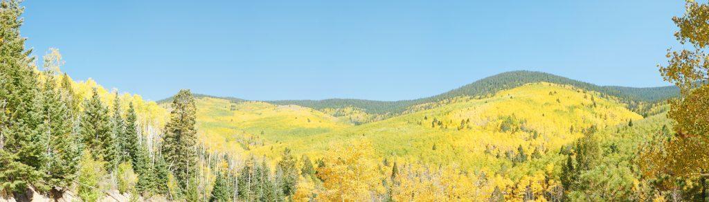 Golden aspen turning golden as winter approaches.