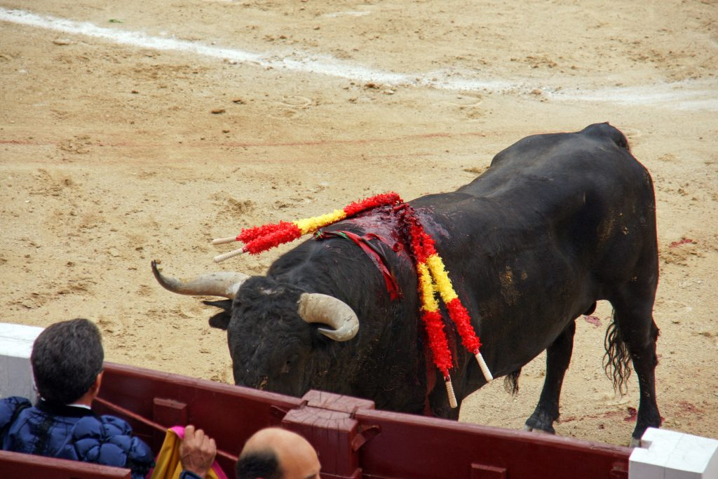 A bull faces the matador, protected behind a barrier.
