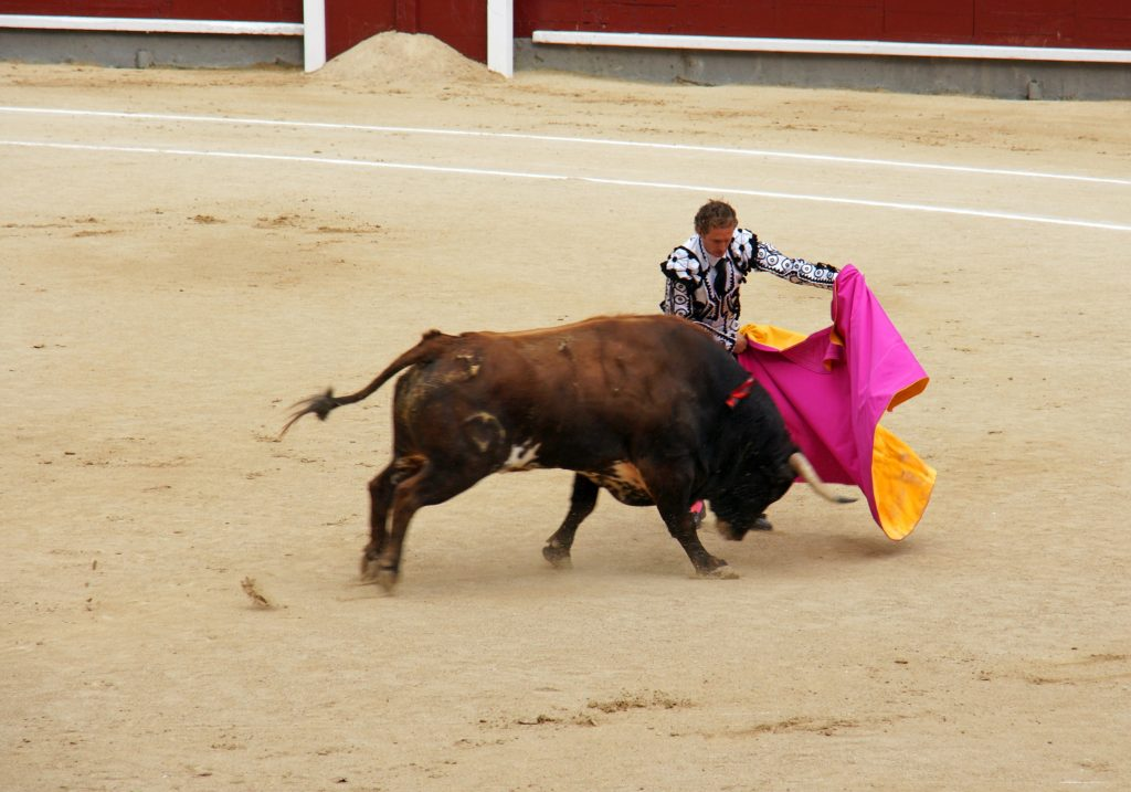 The bull charges the moving cape.